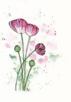 Amapola rosa